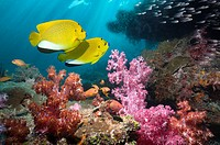 Pair of Threespot angelfish (Apolemichthys trimaculatus). over coral reef with soft corals. Andaman Sea, Thailand.