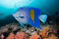 Yellowbar angelfish (Pomacanthus maculosus) swimming over coral reef. Red Sea.