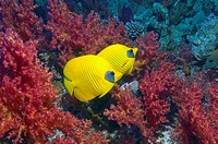 Golden butterflyfish (Chaetodon semilarvatus) pair with soft corals. Egytp, Red Sea.