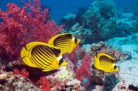 Red Sea raccoon butterflyfish (Chaetodon fasciatus) over coral reef with soft corals. Egypt, Red Sea.