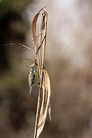Blue tit - Cyanistes caeruleus on cane.