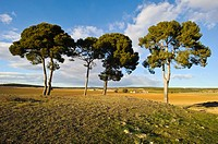 Pines (Pinus halepensis). Almansa. Albacete. Spain.