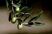 Olive in a branch picual, Jaen, Andalusia, Spain.