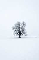 Tilia Tree on a Snow Field. Schönau. Austria.