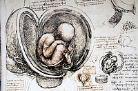 Embryo of the Leonardo da Vinci on paper