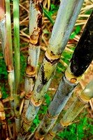 Sugar cane block, Saccharum officinarum.