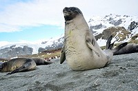 Juvenile southern elephant seal (Mirounga leonina). Gold Harobour, South Georgia Island.