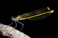 Dragonfly (Calopteryx splendens) in Villarcayo, Burgos, Spain.