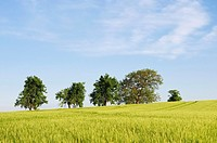 Group of Trees Standing inside a Wheat Field near Bad Schallerbach, Upper Austria, Austria.