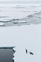 Adult emperor penguins, Aptenodytes forsteri, on sea ice in Crystal Sound, below the Antarctic Circle, Antarctica, Southern Ocean.