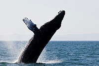 Humpback Whale jumping at the sea near ´Isla Espí­ritu Santo´, north of La Paz, Baja California Sur, Mexico.