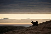 Chamois (Rupicapra rupicapra), in autumn, Black Forest (Germany) in the background, Vosges, France.