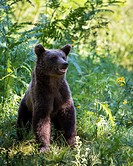 Brown bear (Ursos arctos), in deciduous forest with ferns, Kocevje, Dinaric Alps, Slovenia.