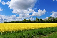 Field of full of rapeseed (Brassica napus) in Schleswig-Holstein.