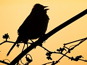 A songbird sings in silhouette against the dawn sky, Pennsylvania, USA.