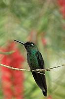 Violet-fronted Brilliant Hummingbird Venezuela.