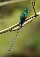 Long-tailed Sylph hummingbird San Eusebio Cloud Forest Merida Venezuela.