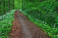 path in forest with blooming ramson, Switzerland.