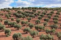 Olive grove, Spain.