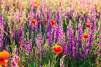 Field of violet lavender and red poppy flowers on morning light.