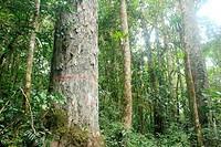Endemic tree Retrophyllum rospigliosii San Eusebio Cloud Forest Merida Venezuela.