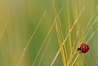 Close up of ladybird on straw.
