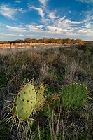 Prickly pear cactus in a Texas desert area.