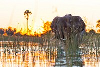 AFRICAN ELEPHANT (Loxodonta ), Okavango Delta, Botswana, Africa.