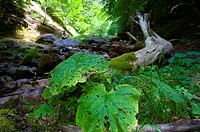 Oza forest, western Pyrenees, Hecho, Huesca province, Aragon, Spain