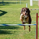 A border collie flies over a jump in an agility trial.