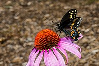 Black Swallowtail Butterfly Feeding on Purple Cone Flower Echinacea purpurea in Corolla, NC USA