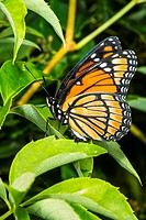 Viceroy Butterfly Limenitis archippus on Virginia Creeper Parthenocissus quinquefolia in Corolla, NC USA