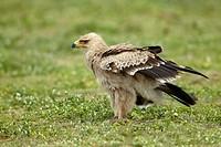 Tawny Eagle Aquila rapax. Serengeti. Tanzania.