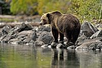 Grizzly bear (Ursus arctos)- Hunting for spawning salmon along the shoreline of a salmon river. Chilcotin Wilderness, BC Interior, Canada