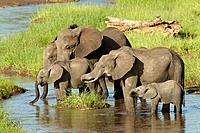 African elephants drinking water in the morning. Loxodonta africana. Tarangire, Tanzania.
