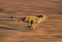 CHEETAH acinonyx jubatus, Adult running through Savannah
