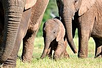 African elephants, mother, baby and calf, Addo Elephant National Park, Eastern Cape, South Africa.