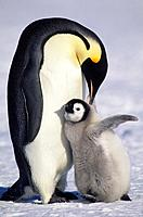 ANTARCTICA, ATKA ICEPORT, EMPEROR PENGUIN WITH CHICK.