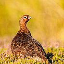 A Red Grouse ( Lagopus lagopus scoticus ) a few days before the grouse shooting season begins ( the glorious 12th of August ) in moorland, Yorkshire D...
