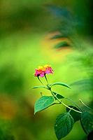 Daisies, wild flower, borneo