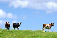 Two brown and one black and white milk cows in a pasture with lush green grass.