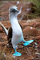 ECUADOR, GALAPAGOS ISLANDS, NORTH SEYMOUR ISLAND, BLUE-FOOTED BOOBY, DANCING, COURTSHIP BEHAVIOR.