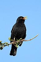 One of the first signs of spring a Blackbird singing high in a tree.