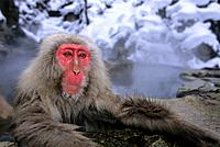 JAPAN, NEAR NAGANO, JIGOKUDANI, JAPANESE MACAQUES, SNOW MONKEY IN HOT SPRING.
