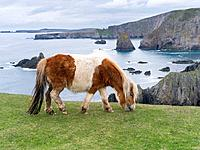 Shetland Pony on pasture near high cliffs on the Shetland Islands in Scotland. europe, central europe, northern europe, united kingdom, great britain,...