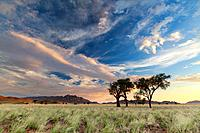 Landscape photo of a sunset over african thorn trees in the namib after plentiful rains. Namib Naukluft Park, Namibia.