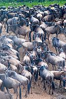 Herd of blue wildebeest (brindled gnu) (Connochaetes taurinus) at Mara River,Masai Mara National Reserve, Kenya, East Africa, Africa.