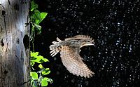 Eurasian WryneckJynx torquilla on flight coming out of hole nest left by other woodpeckers