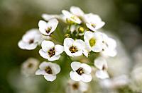 Blossom Panicle. Bad Schallerbach. Austria.