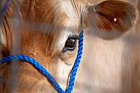 Close up of face of a jersey cow, south Gippsland, Victoria state Australia